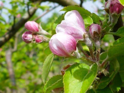 Fruitbloesem in de tuin bij Maudsplekje